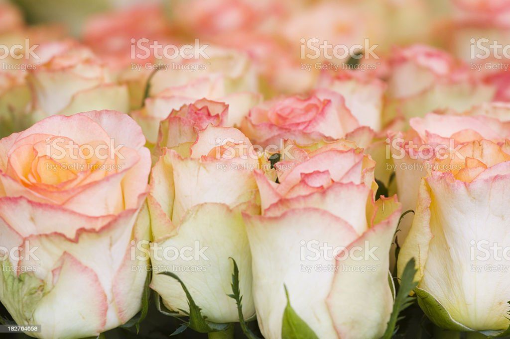 Blush Pink Roses stock photo