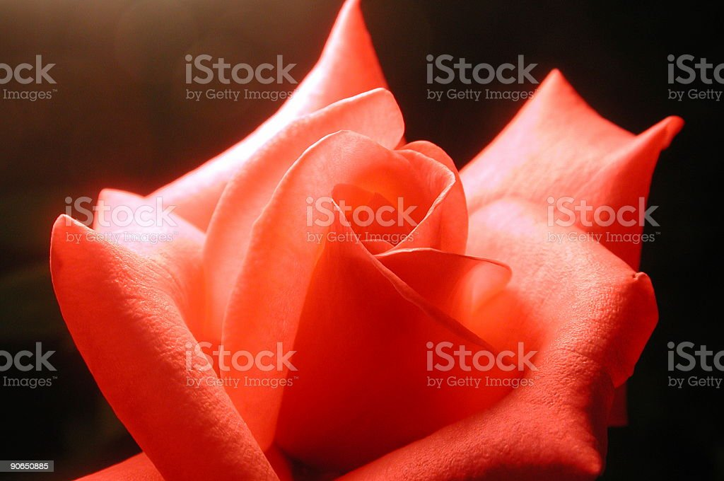 blush rose3 royalty-free stock photo