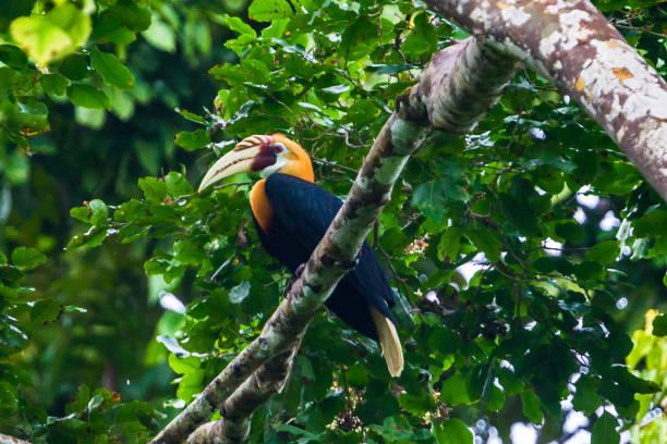 Blyths hornbill raja ampat west papua indonesia picture id864451888?b=1&k=6&m=864451888&s=612x612&w=0&h=lggjigoxwswpet6mvicedes6yfvjoehz bbjsvhp2ua=