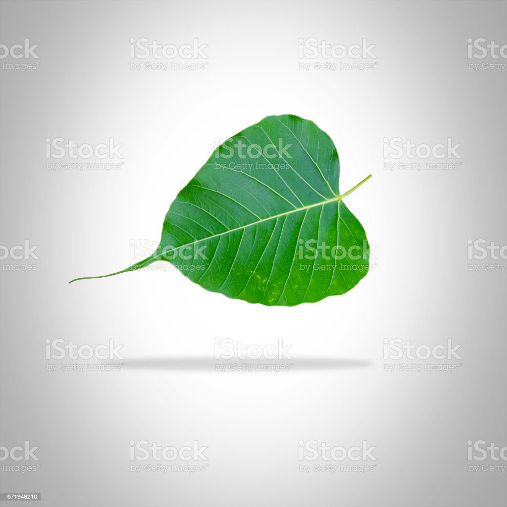 Bo Bodhi leaves heart-shaped leaves stock photo