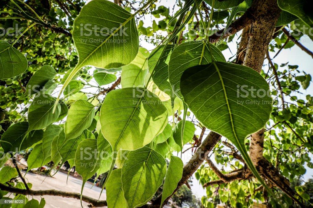 Bo leaf Beautiful green leaves stock photo