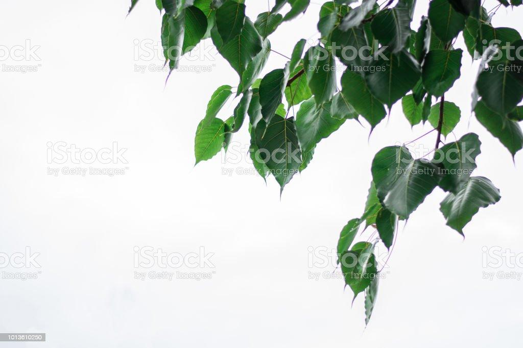 bo leaf green on white background stock photo