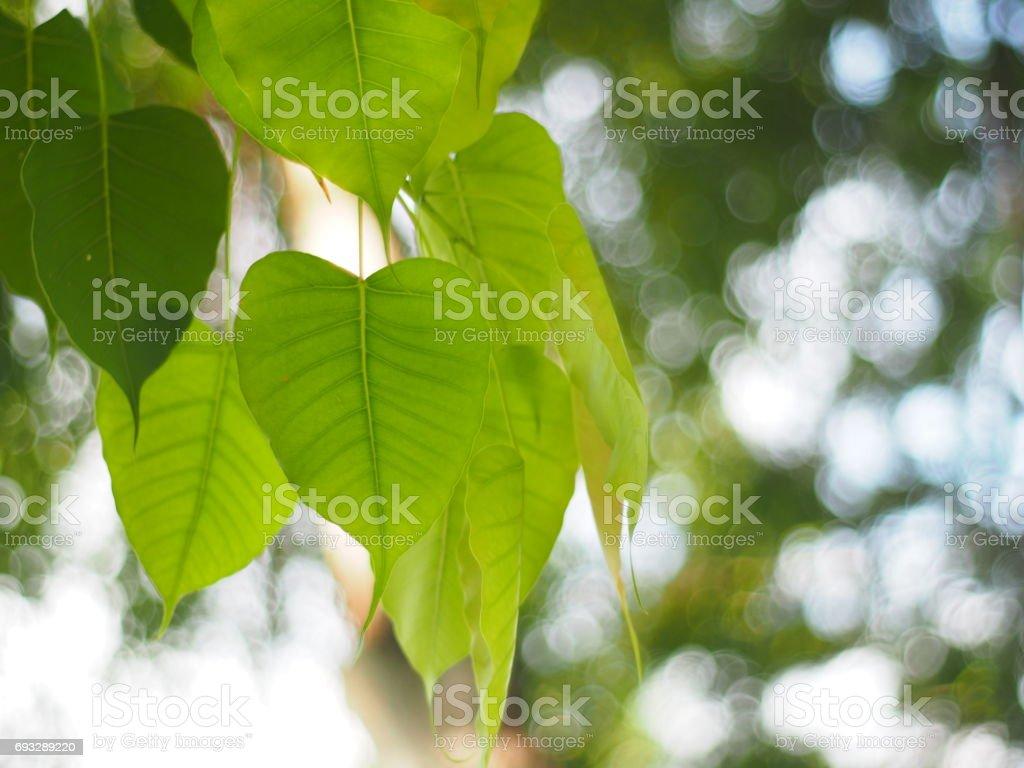 Bo leaf stock photo