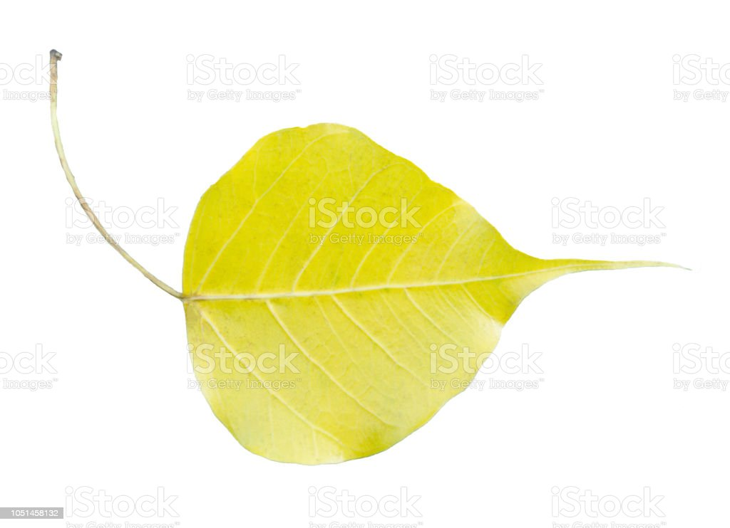 Bo leaf, Sacred fig or Ficus religiosa. on white, isolated background. with a clipping path. stock photo
