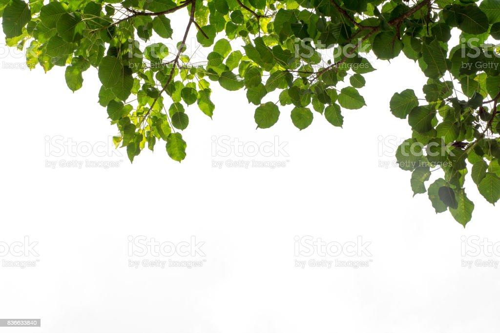 Bo leaf texture on white background. stock photo