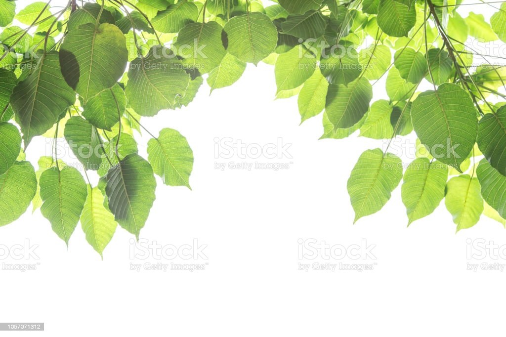 Bo leaves isolated on White Background with bright of sunrise, Bo is name of leaves in Buddhism stock photo