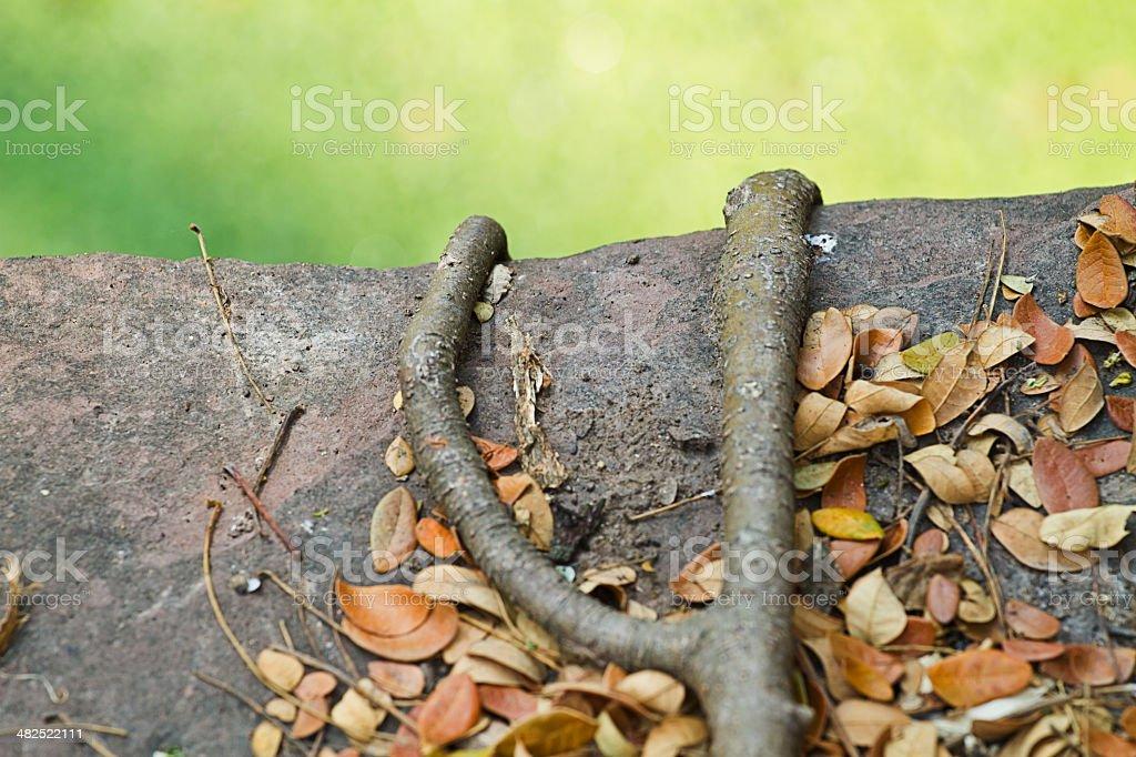 bo Tree root.. stock photo