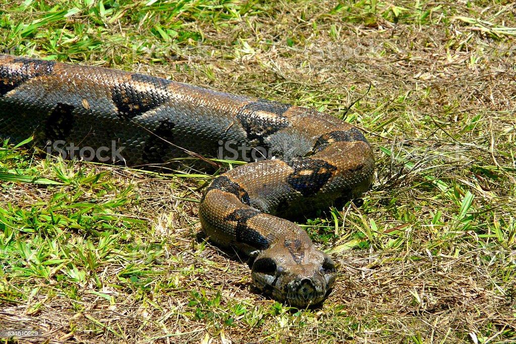 Boa at Corcovado National Park, Costa Rica stock photo