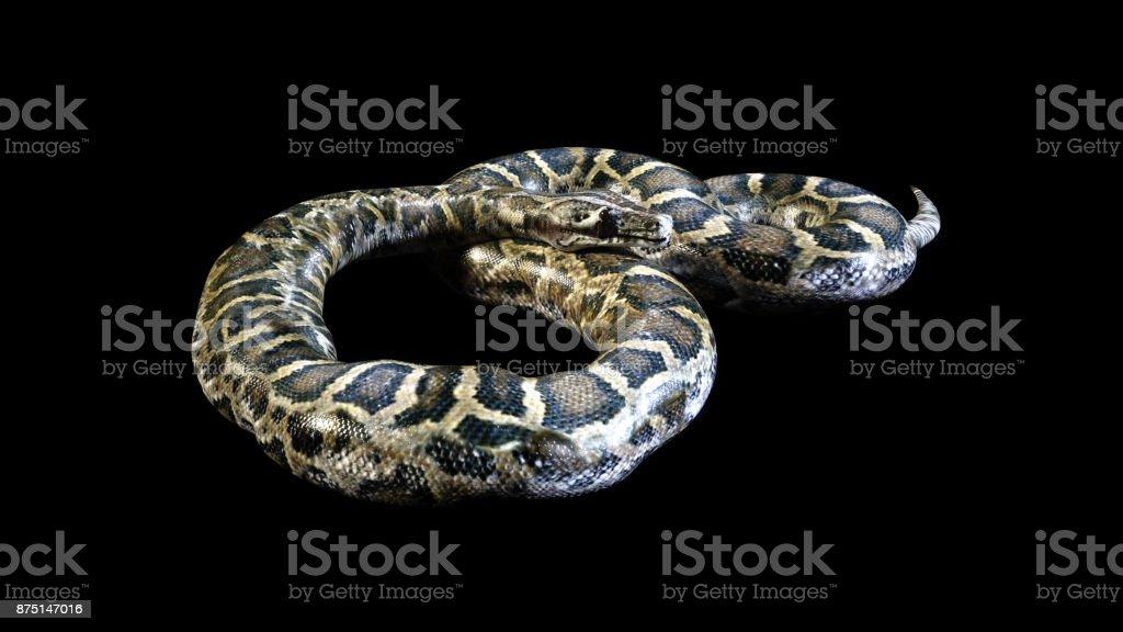 Boa Constrictor, Ball Python stock photo