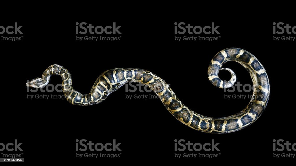 Boa Constrictor, Ball Python - Photo