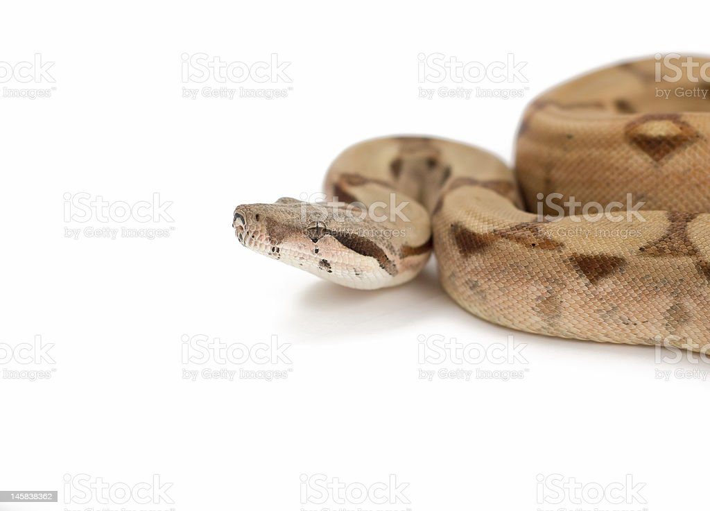 Boa constrictor isolated on white royalty-free stock photo