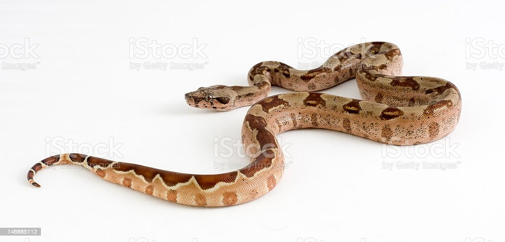 Boa constrictor morph royalty-free stock photo