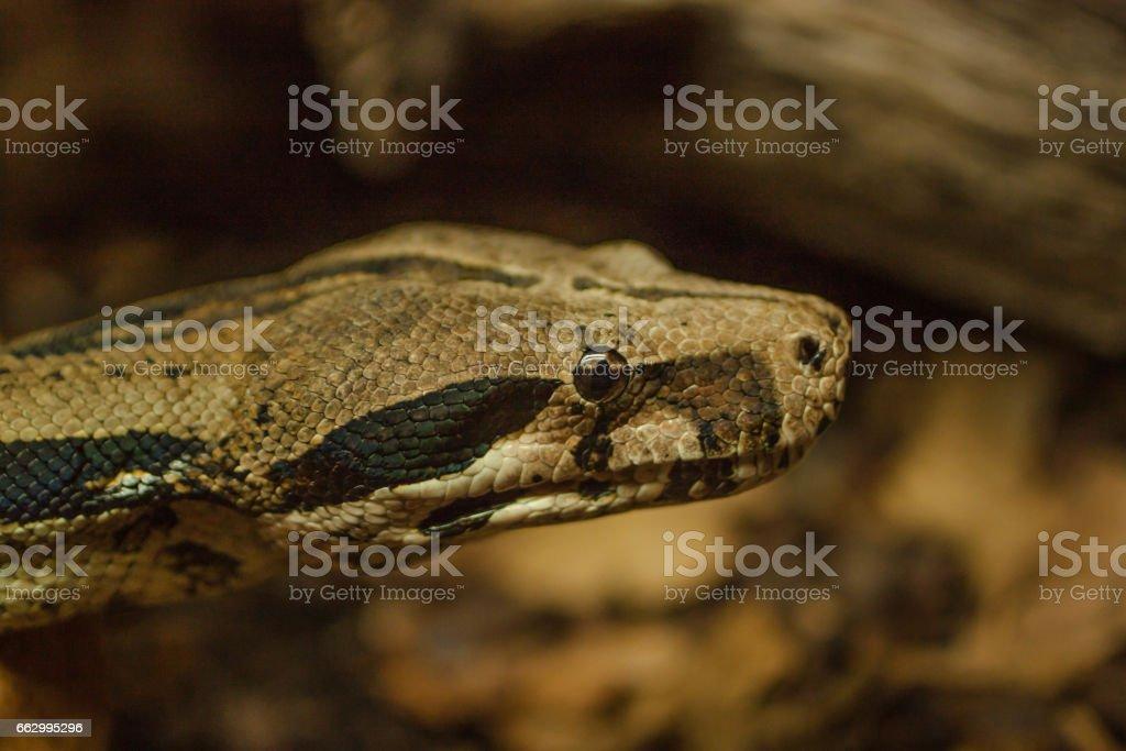 boa constrictor snake head close up – zdjęcie