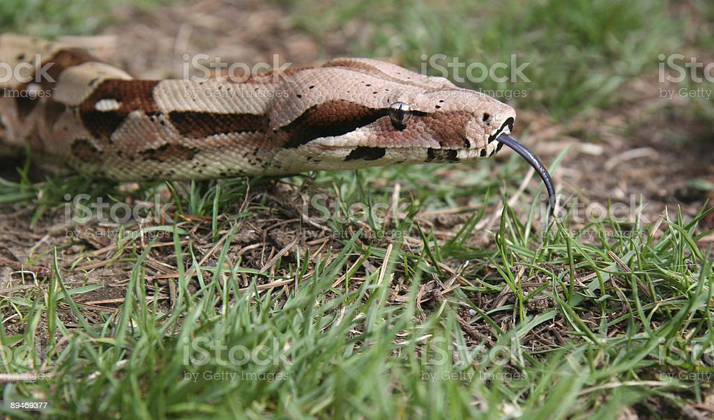 Boa hunting royalty-free stock photo