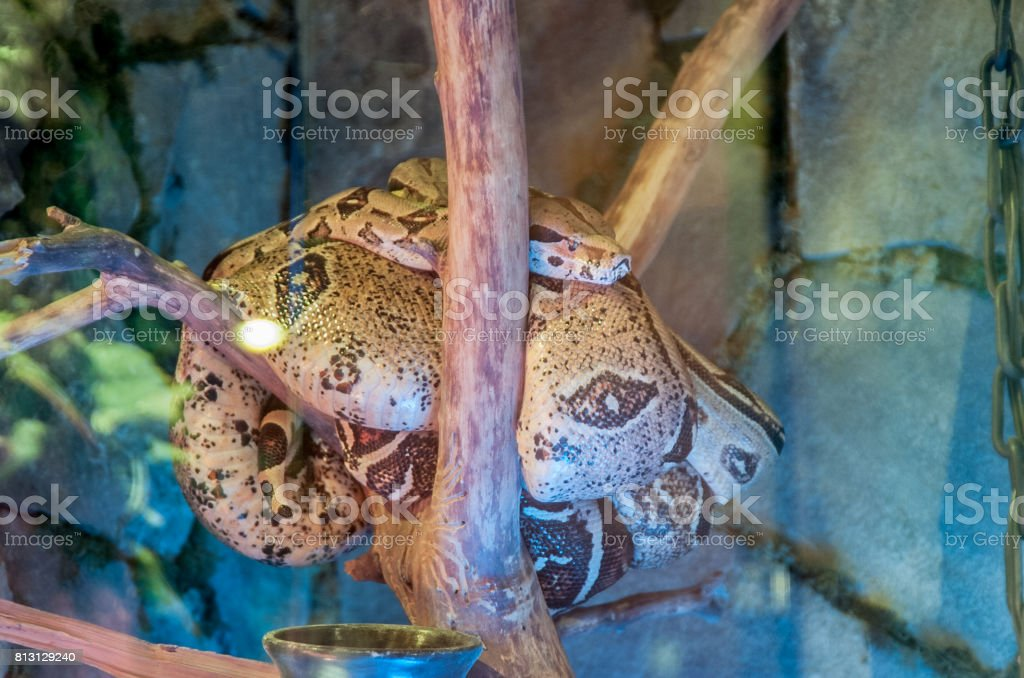 boa in the terrarium on a tree branch in a glass stock photo