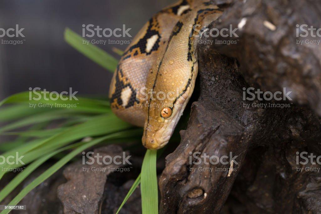 Boa portrait, Boa constrictor snake on tree branch stock photo