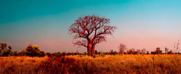 Boab tree at Kimberley_1883A stock photo