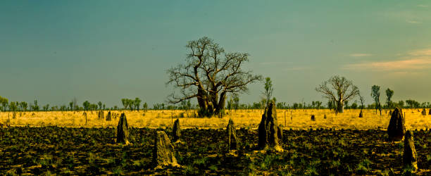 Boab tree at Kimberley_2238B stock photo