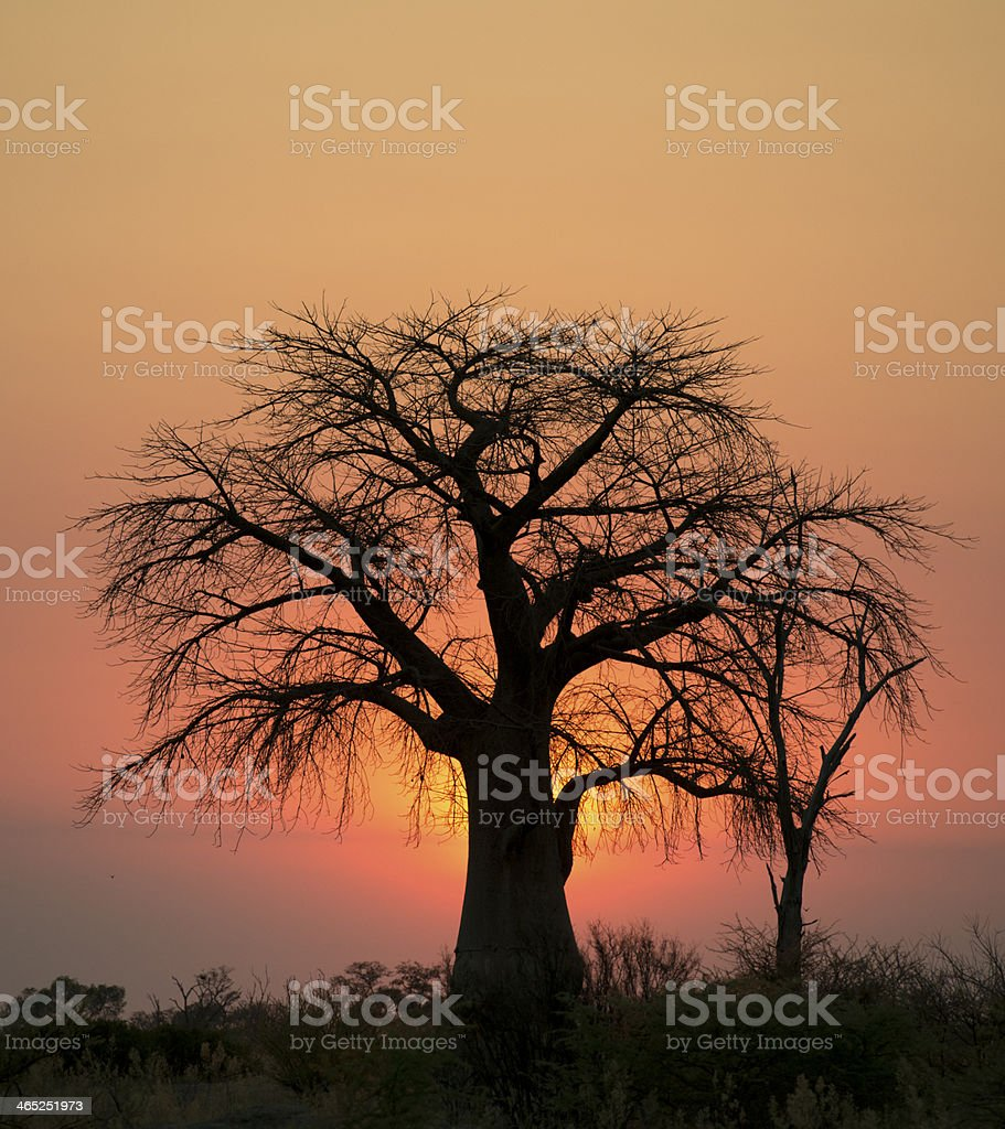 boab tree at sunset royalty-free stock photo