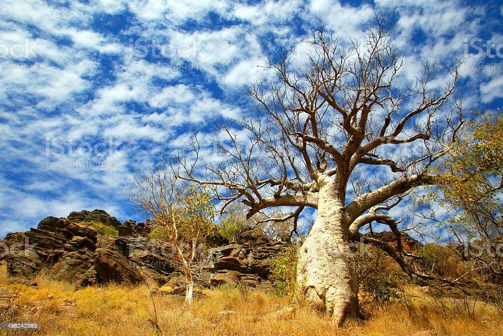 Boab Tree in The Kimberley, Western Australia stock photo
