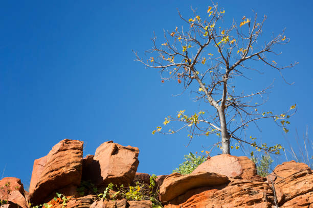 boab tree juniour - outcrop stock pictures, royalty-free photos & images