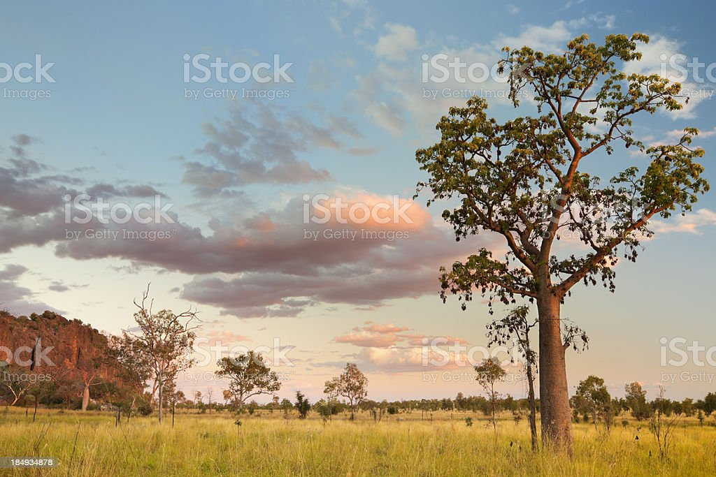 Boab trees at the Windjana Gorge, Western Australia at sunset stock photo
