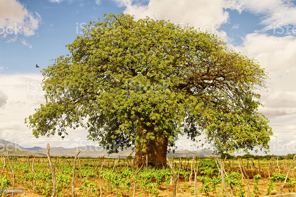 Boabab Tree In A Vineyard stock photo