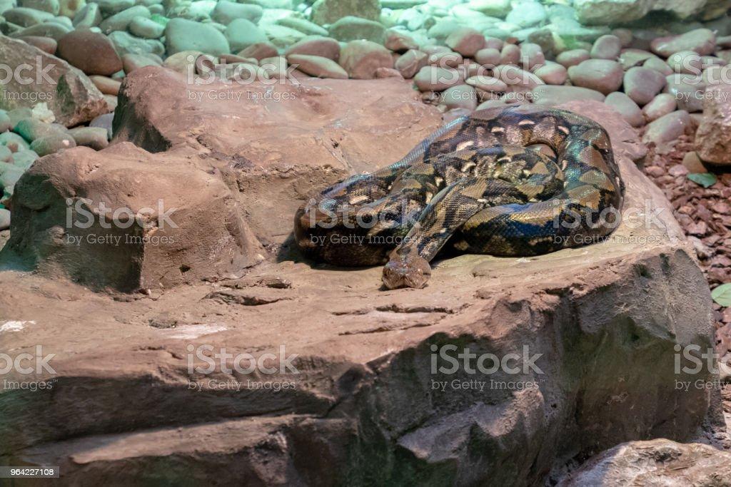 Boa-constrictor snake on a rock stock photo