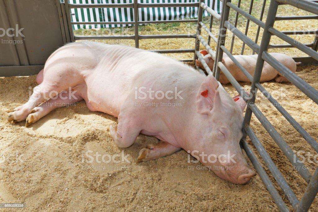 Boar and a piggy stock photo