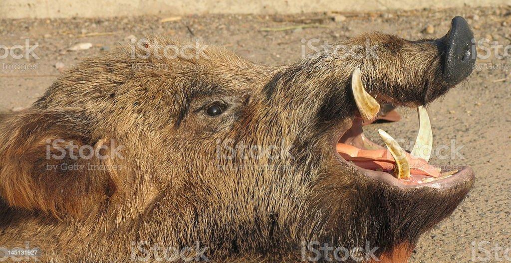 Boar Nahaufnahme. Wild Schweinchen Gesicht – Foto