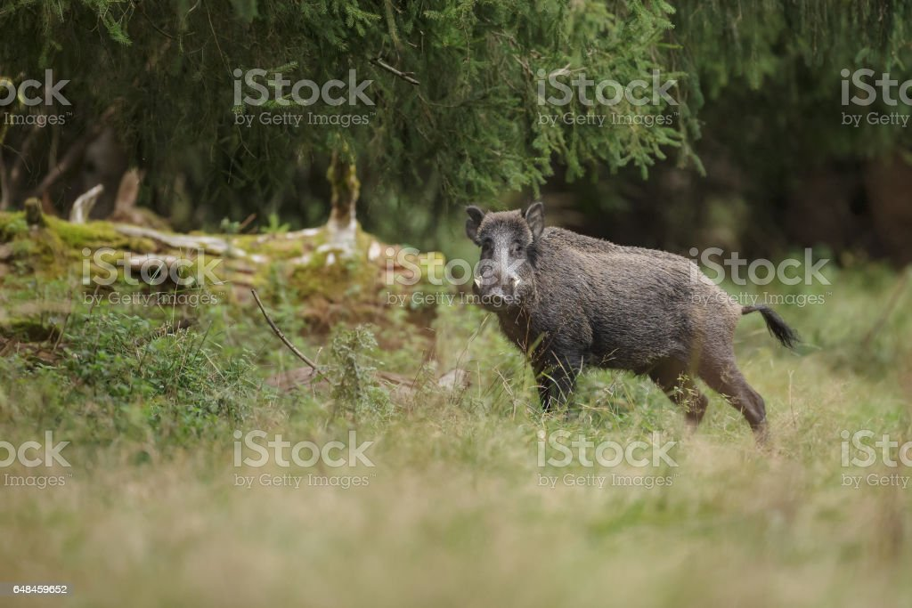 Boar in ancient forest stock photo