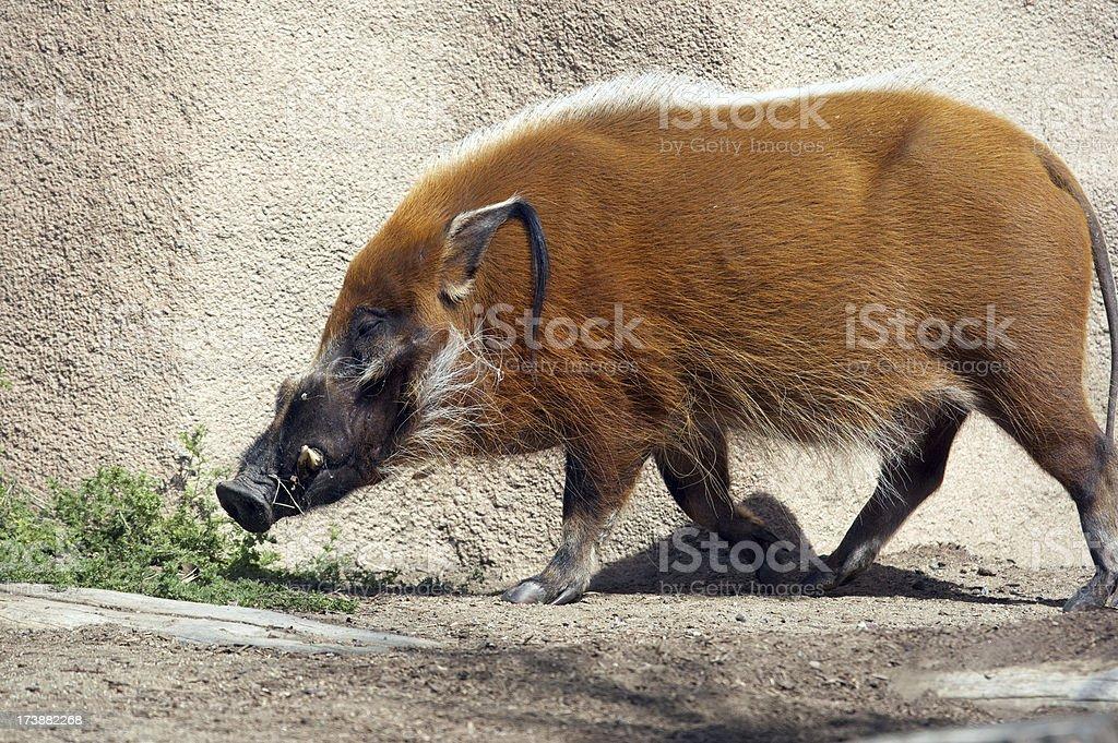 Boar on the rocks stock photo
