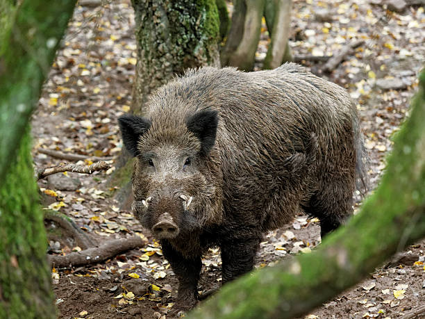 boar wild animal in the forest wild boar stock pictures, royalty-free photos & images