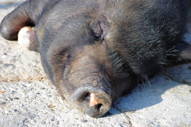 boar. - hippo tail stock photos and pictures