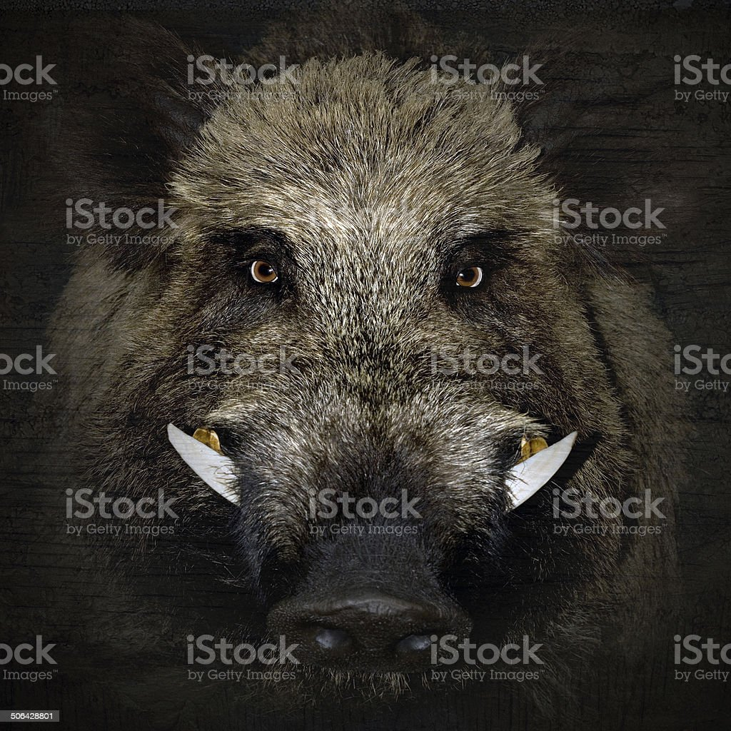 boar portrait stock photo