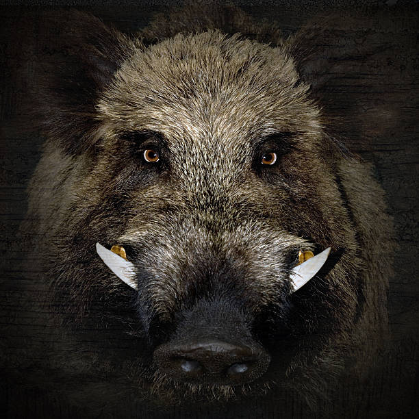 boar portrait wild boar portrait in black background wild boar stock pictures, royalty-free photos & images