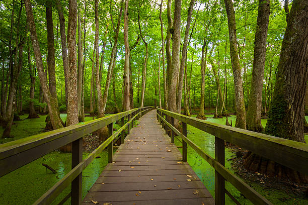 boardwalk over swamps in louisiana, usa - bald cypress tree stockfoto's en -beelden