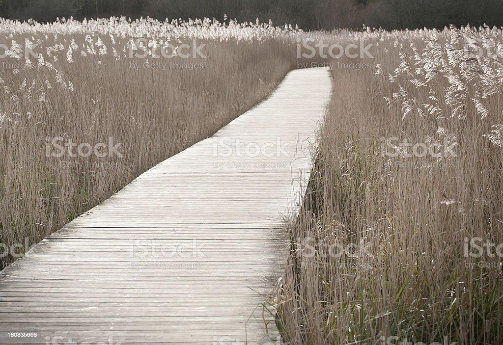 Boardwalk through reedbed royalty-free stock photo