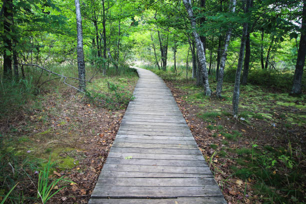 Boardwalk Trail Diminishing Into Forest stock photo