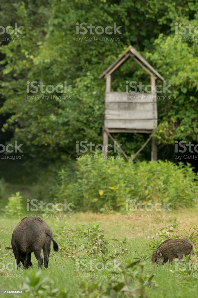 Boars in the wild stock photo