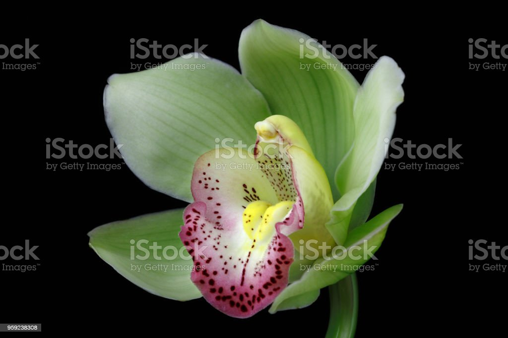 Boot-Orchidee (Cymbidium) – Foto