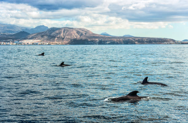 Boat trip on Tenerife Pilot whales on Tenerife cetacea stock pictures, royalty-free photos & images