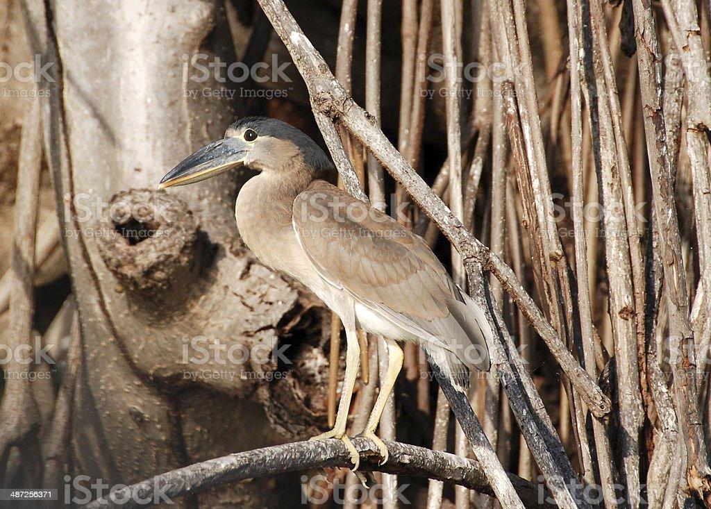 Boat-billed heron stock photo