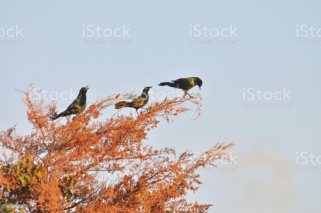 Boat-tailed Grackle In Cedar Tree stock photo