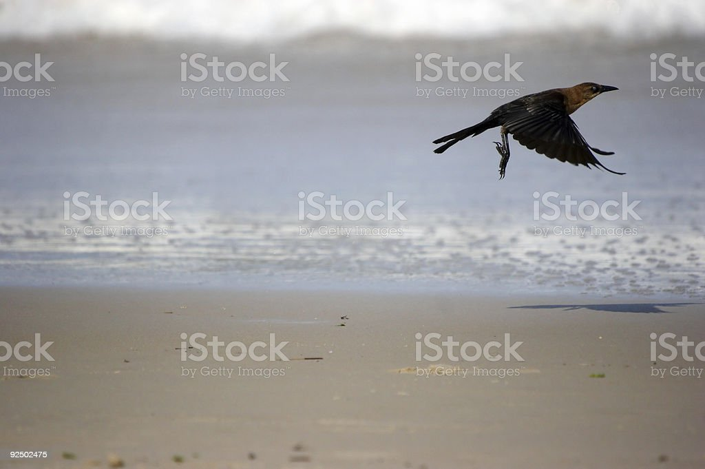 Boat-taled Grackle (female) royalty-free stock photo