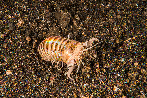 Bobbit worm A bobbit worm in Lembeh bristle worm stock pictures, royalty-free photos & images