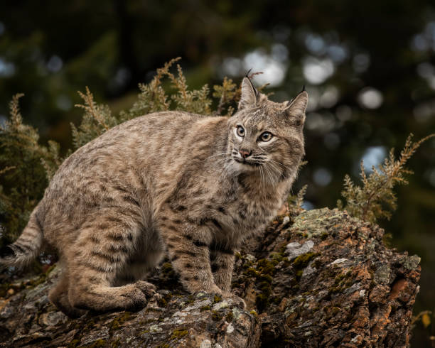 Bobcat adult in Fall colors in Montana stock photo