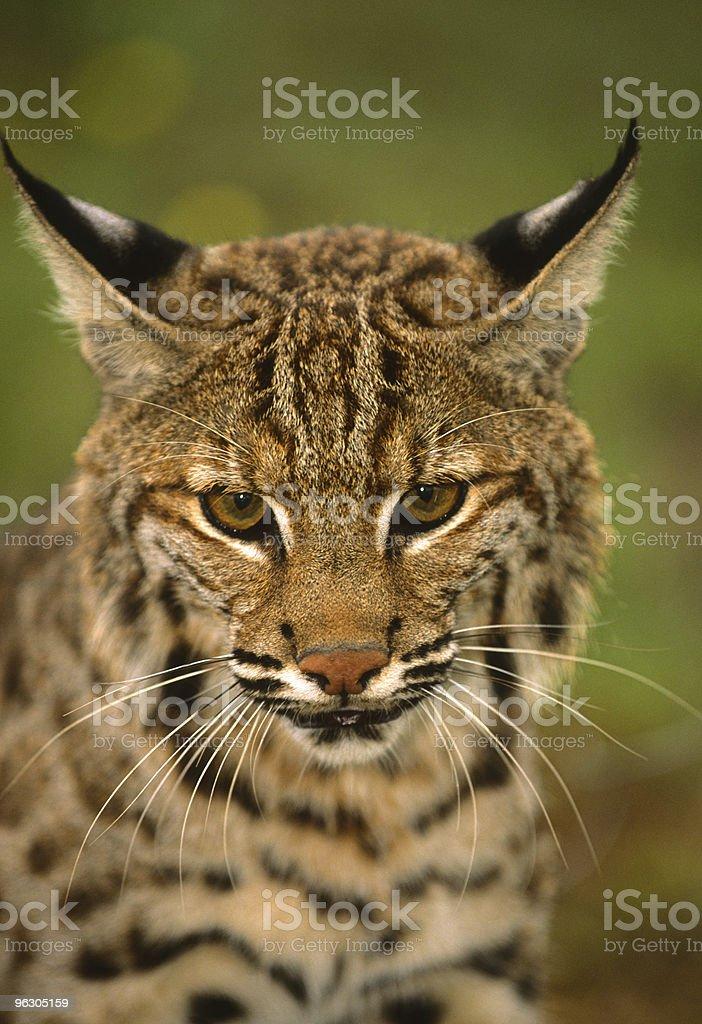 Bobcat Close Up royalty-free stock photo