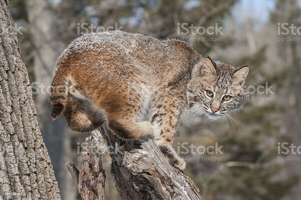 Bobcat (Lynx rufus) Crouches on Snowy Stump stock photo