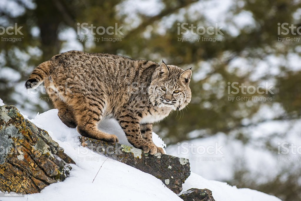 Bobcat in snow stock photo
